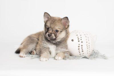 puppy190 week7 BowTiePomsky.com Bowtie Pomsky Puppy For Sale Husky Pomeranian Mini Dog Spokane WA Breeder Blue Eyes Pomskies Celebrity Puppy web5