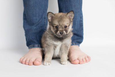 puppy190 week7 BowTiePomsky.com Bowtie Pomsky Puppy For Sale Husky Pomeranian Mini Dog Spokane WA Breeder Blue Eyes Pomskies Celebrity Puppy web7