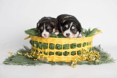 puppy191-192 week3 BowTiePomsky.com Bowtie Pomsky Puppy For Sale Husky Pomeranian Mini Dog Spokane WA Breeder Blue Eyes Pomskies Celebrity Puppy web