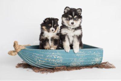 puppy191-192 week7 BowTiePomsky.com Bowtie Pomsky Puppy For Sale Husky Pomeranian Mini Dog Spokane WA Breeder Blue Eyes Pomskies Celebrity Puppy web