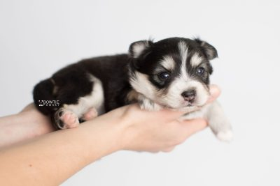 puppy191 week3 BowTiePomsky.com Bowtie Pomsky Puppy For Sale Husky Pomeranian Mini Dog Spokane WA Breeder Blue Eyes Pomskies Celebrity Puppy web10