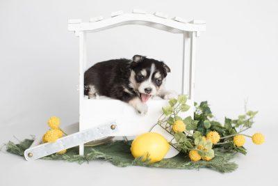 puppy191 week3 BowTiePomsky.com Bowtie Pomsky Puppy For Sale Husky Pomeranian Mini Dog Spokane WA Breeder Blue Eyes Pomskies Celebrity Puppy web2