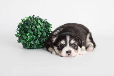 puppy191 week3 BowTiePomsky.com Bowtie Pomsky Puppy For Sale Husky Pomeranian Mini Dog Spokane WA Breeder Blue Eyes Pomskies Celebrity Puppy web3