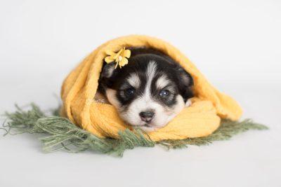 puppy191 week3 BowTiePomsky.com Bowtie Pomsky Puppy For Sale Husky Pomeranian Mini Dog Spokane WA Breeder Blue Eyes Pomskies Celebrity Puppy web9