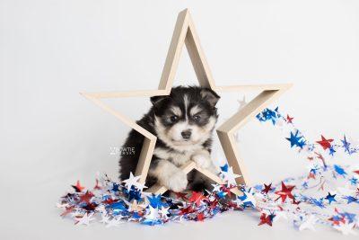 puppy191 week5 BowTiePomsky.com Bowtie Pomsky Puppy For Sale Husky Pomeranian Mini Dog Spokane WA Breeder Blue Eyes Pomskies Celebrity Puppy web1