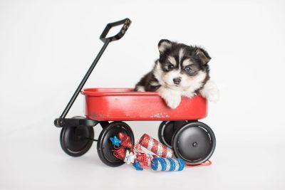puppy191 week5 BowTiePomsky.com Bowtie Pomsky Puppy For Sale Husky Pomeranian Mini Dog Spokane WA Breeder Blue Eyes Pomskies Celebrity Puppy web2