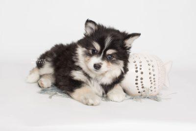 puppy191 week7 BowTiePomsky.com Bowtie Pomsky Puppy For Sale Husky Pomeranian Mini Dog Spokane WA Breeder Blue Eyes Pomskies Celebrity Puppy web4