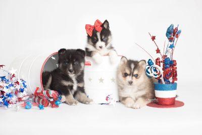 puppy193-195 week5 BowTiePomsky.com Bowtie Pomsky Puppy For Sale Husky Pomeranian Mini Dog Spokane WA Breeder Blue Eyes Pomskies Celebrity Puppy web