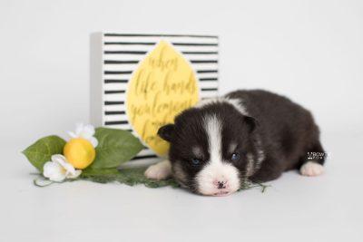 puppy193 week3 BowTiePomsky.com Bowtie Pomsky Puppy For Sale Husky Pomeranian Mini Dog Spokane WA Breeder Blue Eyes Pomskies Celebrity Puppy web2