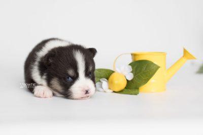 puppy193 week3 BowTiePomsky.com Bowtie Pomsky Puppy For Sale Husky Pomeranian Mini Dog Spokane WA Breeder Blue Eyes Pomskies Celebrity Puppy web3