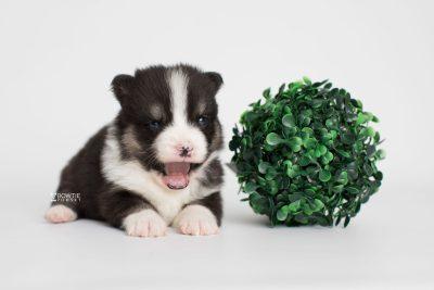 puppy193 week3 BowTiePomsky.com Bowtie Pomsky Puppy For Sale Husky Pomeranian Mini Dog Spokane WA Breeder Blue Eyes Pomskies Celebrity Puppy web5