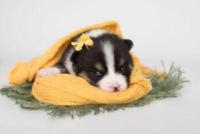 puppy193 week3 BowTiePomsky.com Bowtie Pomsky Puppy For Sale Husky Pomeranian Mini Dog Spokane WA Breeder Blue Eyes Pomskies Celebrity Puppy web6