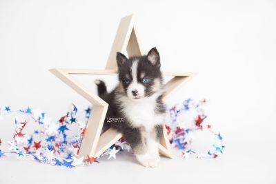 puppy193 week5 BowTiePomsky.com Bowtie Pomsky Puppy For Sale Husky Pomeranian Mini Dog Spokane WA Breeder Blue Eyes Pomskies Celebrity Puppy web1