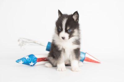 puppy193 week5 BowTiePomsky.com Bowtie Pomsky Puppy For Sale Husky Pomeranian Mini Dog Spokane WA Breeder Blue Eyes Pomskies Celebrity Puppy web4