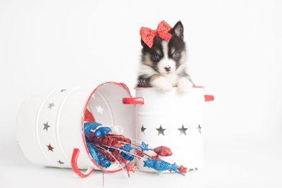 puppy193 week5 BowTiePomsky.com Bowtie Pomsky Puppy For Sale Husky Pomeranian Mini Dog Spokane WA Breeder Blue Eyes Pomskies Celebrity Puppy web5