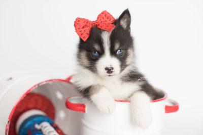 puppy193 week5 BowTiePomsky.com Bowtie Pomsky Puppy For Sale Husky Pomeranian Mini Dog Spokane WA Breeder Blue Eyes Pomskies Celebrity Puppy web6