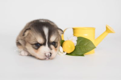 puppy194 week3 BowTiePomsky.com Bowtie Pomsky Puppy For Sale Husky Pomeranian Mini Dog Spokane WA Breeder Blue Eyes Pomskies Celebrity Puppy web3
