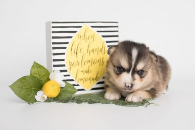 puppy194 week3 BowTiePomsky.com Bowtie Pomsky Puppy For Sale Husky Pomeranian Mini Dog Spokane WA Breeder Blue Eyes Pomskies Celebrity Puppy web4