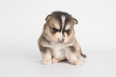 puppy194 week3 BowTiePomsky.com Bowtie Pomsky Puppy For Sale Husky Pomeranian Mini Dog Spokane WA Breeder Blue Eyes Pomskies Celebrity Puppy web6
