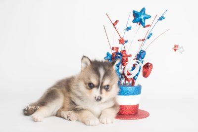 puppy194 week5 BowTiePomsky.com Bowtie Pomsky Puppy For Sale Husky Pomeranian Mini Dog Spokane WA Breeder Blue Eyes Pomskies Celebrity Puppy web4