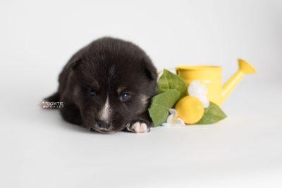 puppy195 week3 BowTiePomsky.com Bowtie Pomsky Puppy For Sale Husky Pomeranian Mini Dog Spokane WA Breeder Blue Eyes Pomskies Celebrity Puppy web3