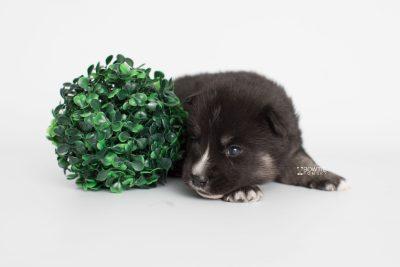 puppy195 week3 BowTiePomsky.com Bowtie Pomsky Puppy For Sale Husky Pomeranian Mini Dog Spokane WA Breeder Blue Eyes Pomskies Celebrity Puppy web4