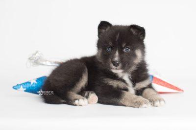puppy195 week5 BowTiePomsky.com Bowtie Pomsky Puppy For Sale Husky Pomeranian Mini Dog Spokane WA Breeder Blue Eyes Pomskies Celebrity Puppy web4