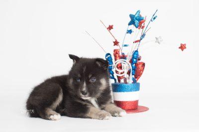 puppy195 week5 BowTiePomsky.com Bowtie Pomsky Puppy For Sale Husky Pomeranian Mini Dog Spokane WA Breeder Blue Eyes Pomskies Celebrity Puppy web5