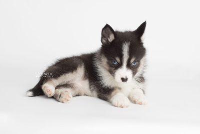 puppy193 week7 BowTiePomsky.com Bowtie Pomsky Puppy For Sale Husky Pomeranian Mini Dog Spokane WA Breeder Blue Eyes Pomskies Celebrity Puppy web7