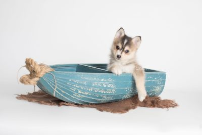 puppy194 week7 BowTiePomsky.com Bowtie Pomsky Puppy For Sale Husky Pomeranian Mini Dog Spokane WA Breeder Blue Eyes Pomskies Celebrity Puppy web2