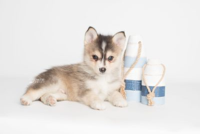puppy194 week7 BowTiePomsky.com Bowtie Pomsky Puppy For Sale Husky Pomeranian Mini Dog Spokane WA Breeder Blue Eyes Pomskies Celebrity Puppy web3
