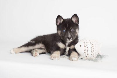 puppy195 week7 BowTiePomsky.com Bowtie Pomsky Puppy For Sale Husky Pomeranian Mini Dog Spokane WA Breeder Blue Eyes Pomskies Celebrity Puppy web5