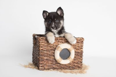 puppy195 week7 BowTiePomsky.com Bowtie Pomsky Puppy For Sale Husky Pomeranian Mini Dog Spokane WA Breeder Blue Eyes Pomskies Celebrity Puppy web7