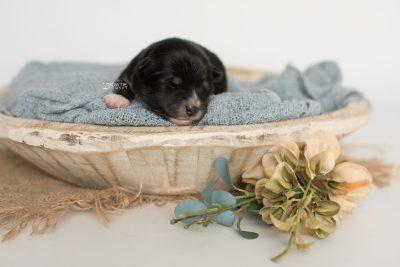 puppy196 week1 BowTiePomsky.com Bowtie Pomsky Puppy For Sale Husky Pomeranian Mini Dog Spokane WA Breeder Blue Eyes Pomskies Celebrity Puppy web1