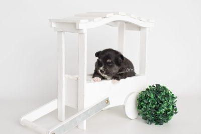 puppy196 week3 BowTiePomsky.com Bowtie Pomsky Puppy For Sale Husky Pomeranian Mini Dog Spokane WA Breeder Blue Eyes Pomskies Celebrity Puppy web3