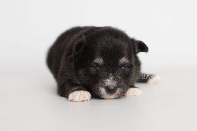 puppy196 week3 BowTiePomsky.com Bowtie Pomsky Puppy For Sale Husky Pomeranian Mini Dog Spokane WA Breeder Blue Eyes Pomskies Celebrity Puppy web8