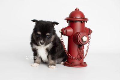 puppy196 week5 BowTiePomsky.com Bowtie Pomsky Puppy For Sale Husky Pomeranian Mini Dog Spokane WA Breeder Blue Eyes Pomskies Celebrity Puppy web2