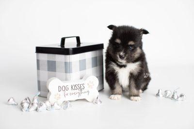 puppy196 week5 BowTiePomsky.com Bowtie Pomsky Puppy For Sale Husky Pomeranian Mini Dog Spokane WA Breeder Blue Eyes Pomskies Celebrity Puppy web4