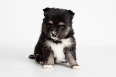 puppy196 week5 BowTiePomsky.com Bowtie Pomsky Puppy For Sale Husky Pomeranian Mini Dog Spokane WA Breeder Blue Eyes Pomskies Celebrity Puppy web5