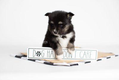 puppy196 week5 BowTiePomsky.com Bowtie Pomsky Puppy For Sale Husky Pomeranian Mini Dog Spokane WA Breeder Blue Eyes Pomskies Celebrity Puppy web7