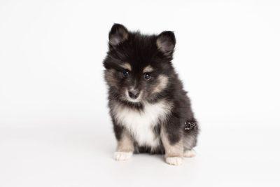 puppy196 week7 BowTiePomsky.com Bowtie Pomsky Puppy For Sale Husky Pomeranian Mini Dog Spokane WA Breeder Blue Eyes Pomskies Celebrity Puppy web6