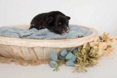 puppy197 week1 BowTiePomsky.com Bowtie Pomsky Puppy For Sale Husky Pomeranian Mini Dog Spokane WA Breeder Blue Eyes Pomskies Celebrity Puppy web1