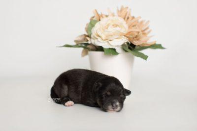 puppy197 week1 BowTiePomsky.com Bowtie Pomsky Puppy For Sale Husky Pomeranian Mini Dog Spokane WA Breeder Blue Eyes Pomskies Celebrity Puppy web4