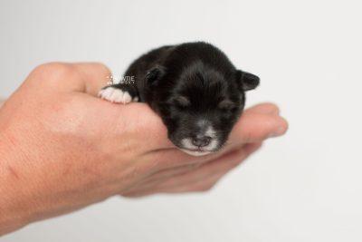 puppy197 week1 BowTiePomsky.com Bowtie Pomsky Puppy For Sale Husky Pomeranian Mini Dog Spokane WA Breeder Blue Eyes Pomskies Celebrity Puppy web6