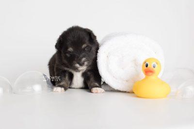 puppy197 week3 BowTiePomsky.com Bowtie Pomsky Puppy For Sale Husky Pomeranian Mini Dog Spokane WA Breeder Blue Eyes Pomskies Celebrity Puppy web5