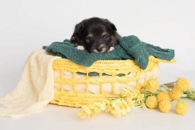 puppy197 week3 BowTiePomsky.com Bowtie Pomsky Puppy For Sale Husky Pomeranian Mini Dog Spokane WA Breeder Blue Eyes Pomskies Celebrity Puppy web6