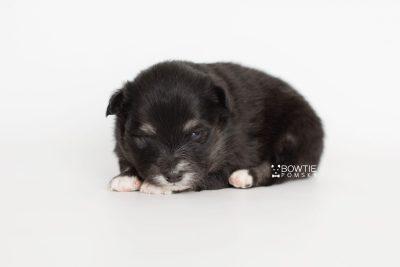 puppy197 week3 BowTiePomsky.com Bowtie Pomsky Puppy For Sale Husky Pomeranian Mini Dog Spokane WA Breeder Blue Eyes Pomskies Celebrity Puppy web7