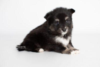 puppy197 week5 BowTiePomsky.com Bowtie Pomsky Puppy For Sale Husky Pomeranian Mini Dog Spokane WA Breeder Blue Eyes Pomskies Celebrity Puppy web6
