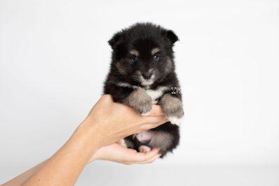 puppy197 week5 BowTiePomsky.com Bowtie Pomsky Puppy For Sale Husky Pomeranian Mini Dog Spokane WA Breeder Blue Eyes Pomskies Celebrity Puppy web7