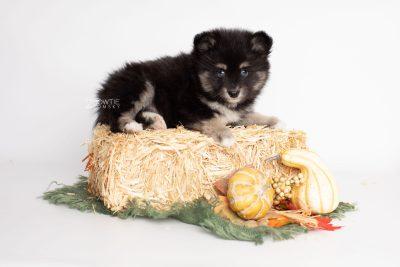 puppy197 week7 BowTiePomsky.com Bowtie Pomsky Puppy For Sale Husky Pomeranian Mini Dog Spokane WA Breeder Blue Eyes Pomskies Celebrity Puppy web3